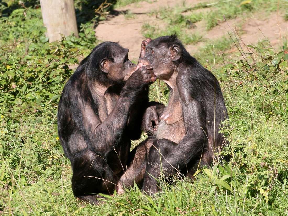 ¿Por qué las mujeres bonobos tienen más sexo que con los hombres?